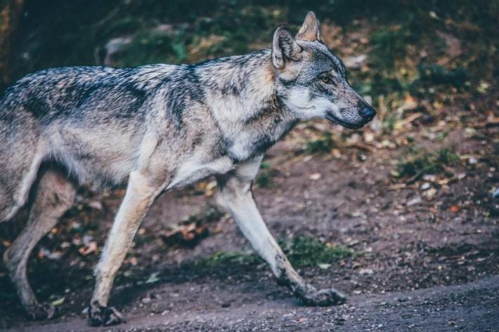 山の中を散歩する狼