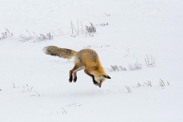 雪原で狩りをする狐