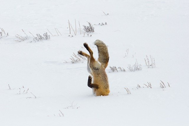 雪に頭を突っ込んだ狐