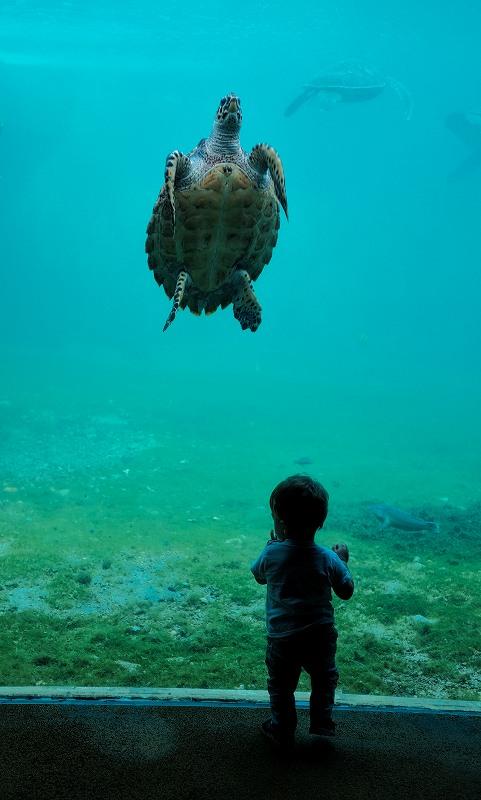 水族館の亀とそれを見つめる子供